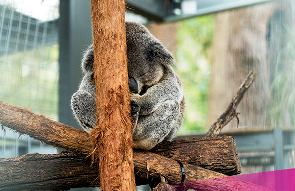 Visit the koala hospital in Port Macquarie on the Ultimate East coast package