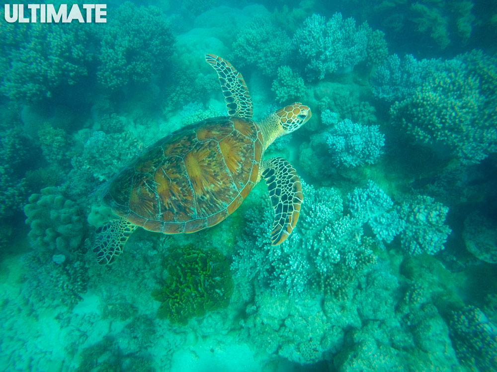 Swimming with a turtle in Cape tribulation