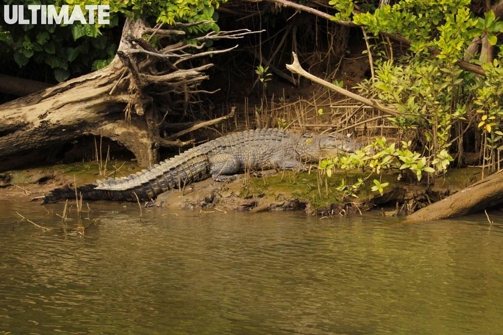 Crocodile spotting in Cape tribulation