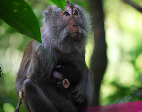 Visit the local monkeys in Ubud