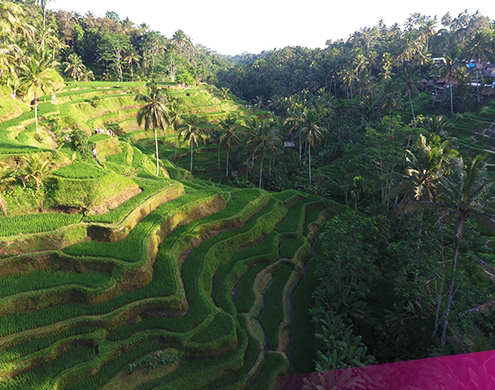 Visit the famous rice fields of Ubud